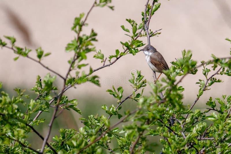 Lesser Whitethroat Sylvia-curruca in een Haagdoornboom die wordt neergestreken royalty-vrije stock foto's