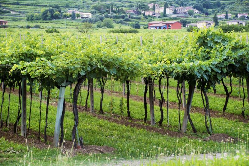 Lessinia (Véneto, Italia), viñedos en el verano fotografía de archivo libre de regalías