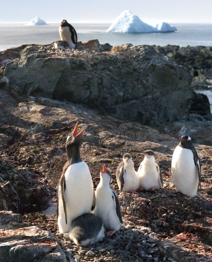 Lessions do canto do pinguim fotografia de stock