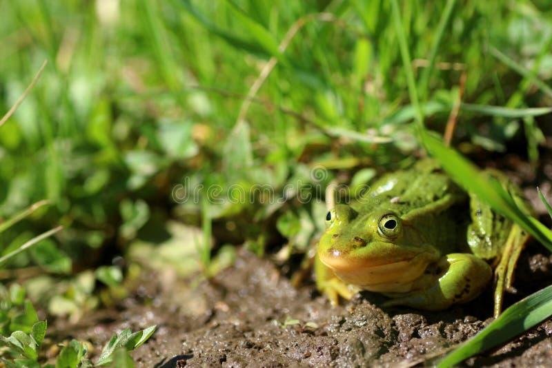 Lessonae Раны зеленой лягушки в траве стоковое фото