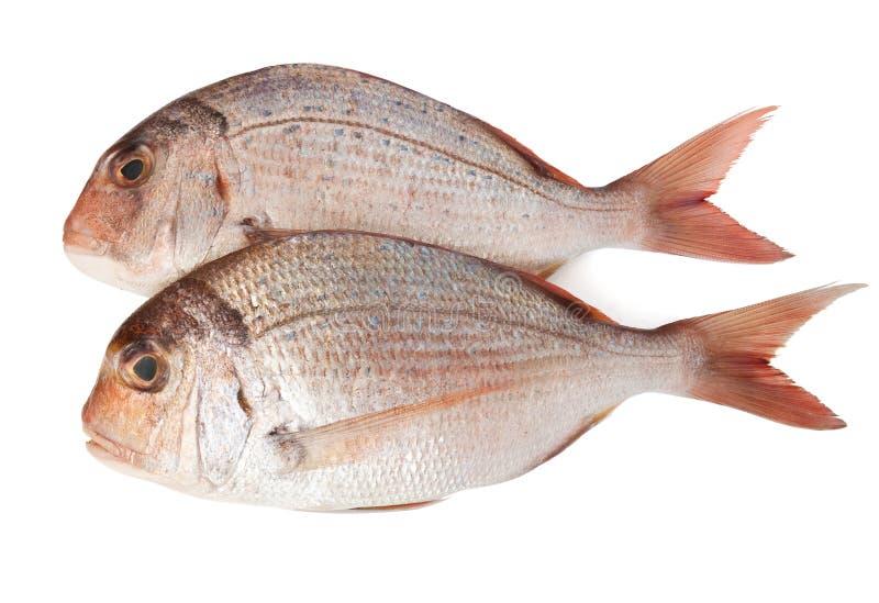 leszcza pagellus morze dwa zdjęcia stock