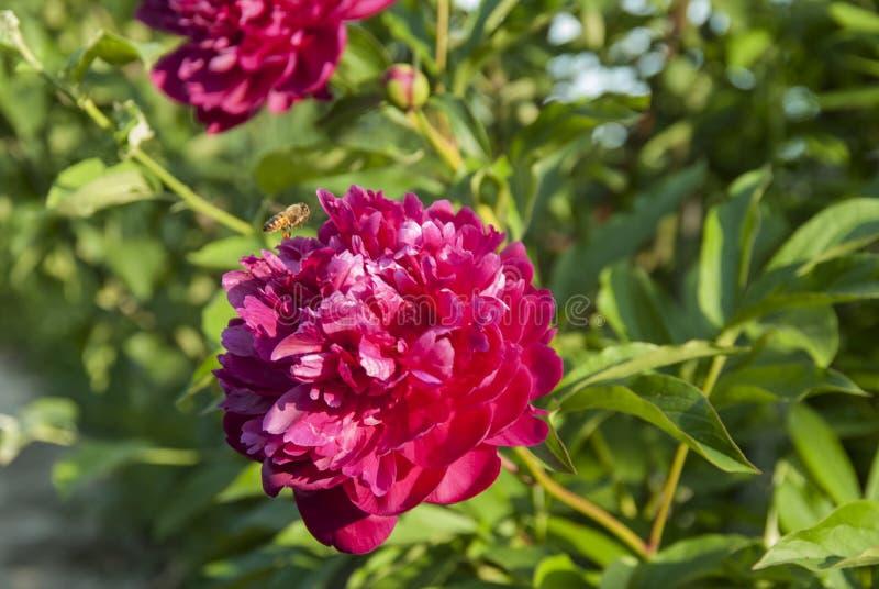 Let ist die Biene auf einer roten Pfingstrose frei lizenzfreies stockbild