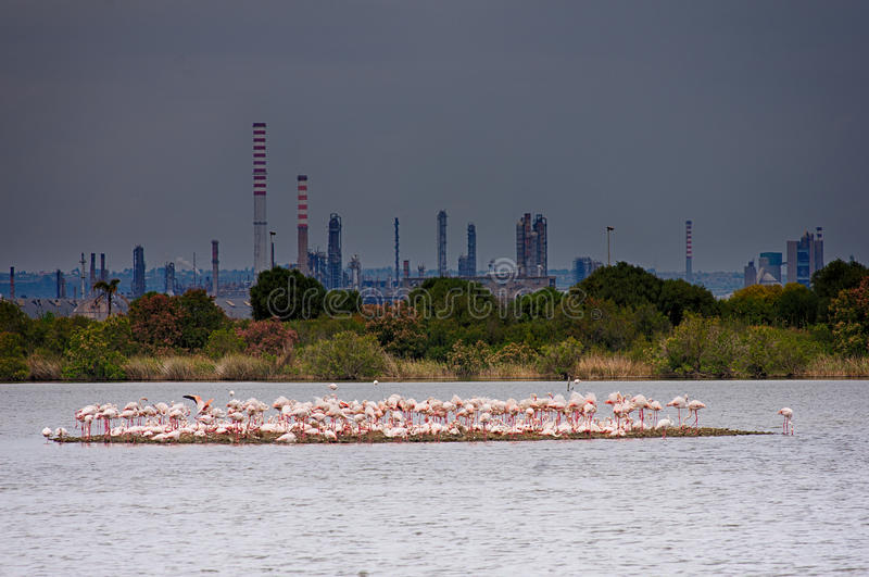 Let`s nest here. A group of flamingos is nesting in an abandoned saltern very close to a refinery polluting the air in Sicily Italy. This area has been recovered