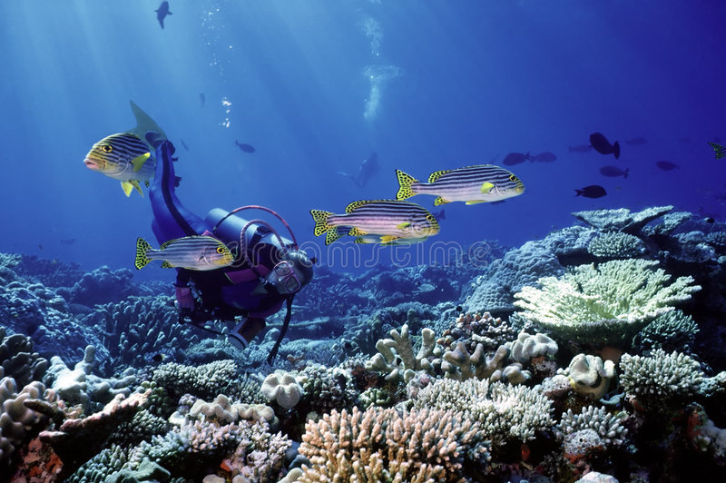 Let's Play. Diver playfully observing Oriental Sweetlip fishes on a shallow reef in the Maldives
