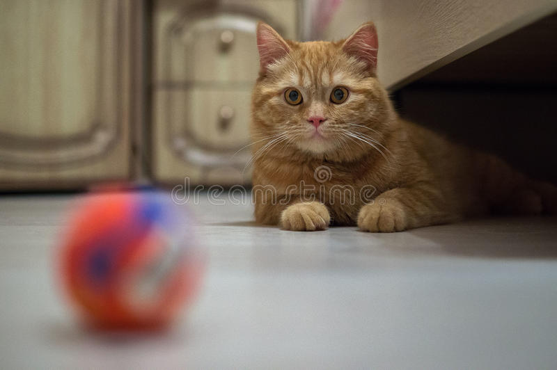Let's play together!. Very often domestic cats love to play with each other and various toys. Favorite game for cat is a small ball that a cat rolls along the