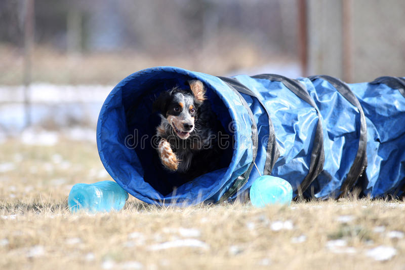 Download Let`s Try Agility! Dog Is Going Through The Tunnel Stock Image - Image: 14518875