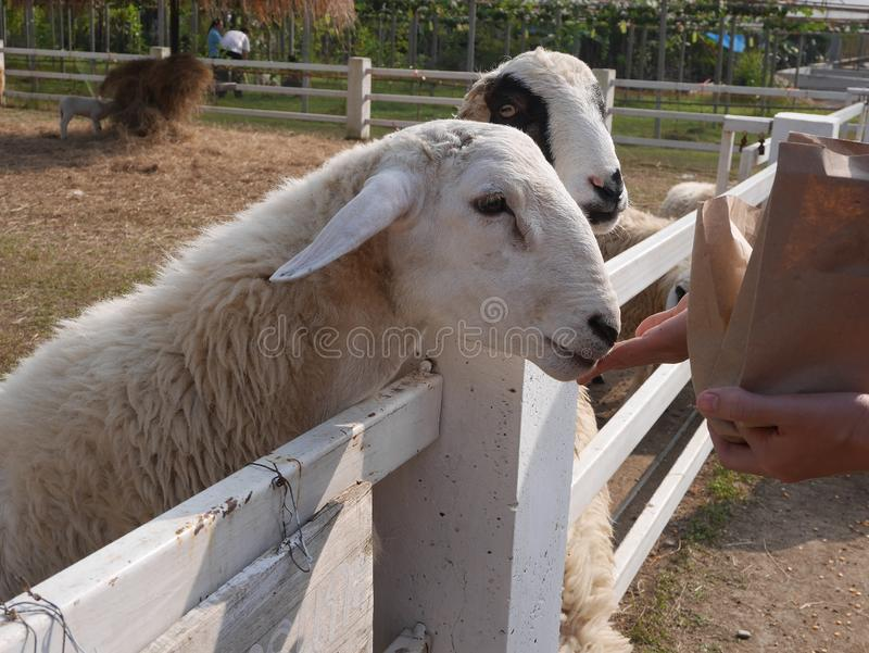 Let the sheep feed on the farm stock images