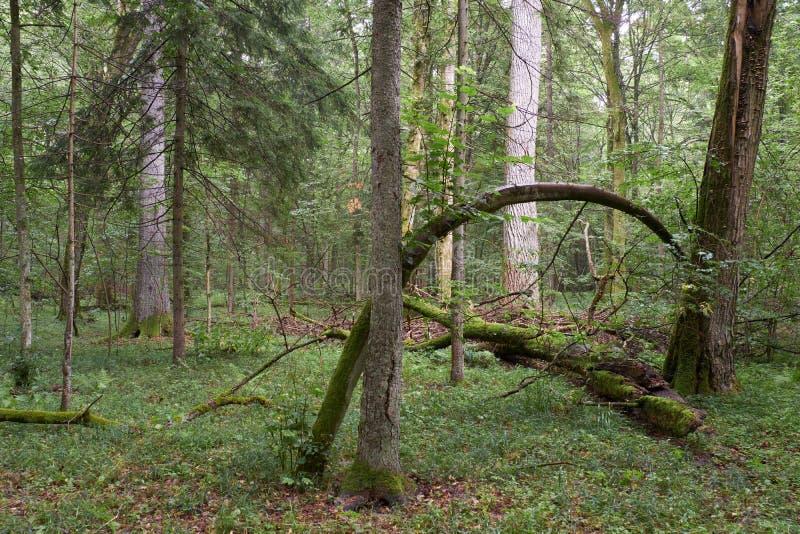 Letni las liściasty z drzewami starymi fotografia royalty free