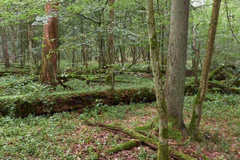 Letni las liściasty z drzewami starymi obrazy royalty free