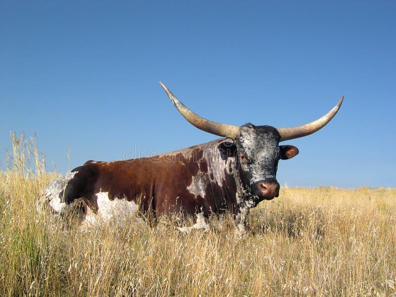 letni longhorn zdjęcia stock