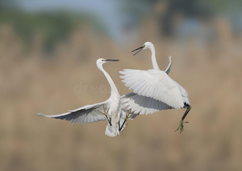 Lets fight -fight of egrets. Fight of little egrets in marshland