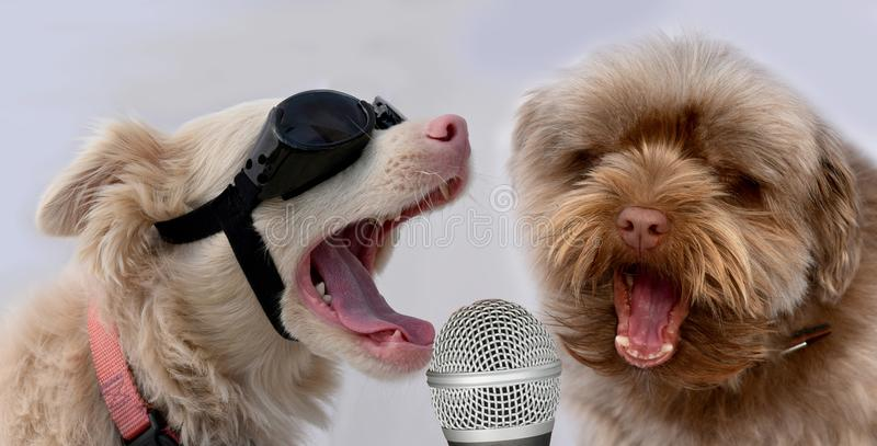 If we only practice enough we will be pop stars one day. Lets sing together, bolonka and albino dog practice singing in microphone. They want to become pop stars stock photos