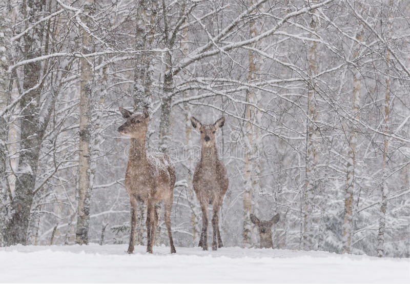 Lets It Snow: Two Snow-Covered Red Deer Cervidae Stand On The Outskirts Of A Snow-Covered Birch Forest.Two Female Noble Deer. Lets It Snow: Two Snow-Covered Red royalty free stock photography