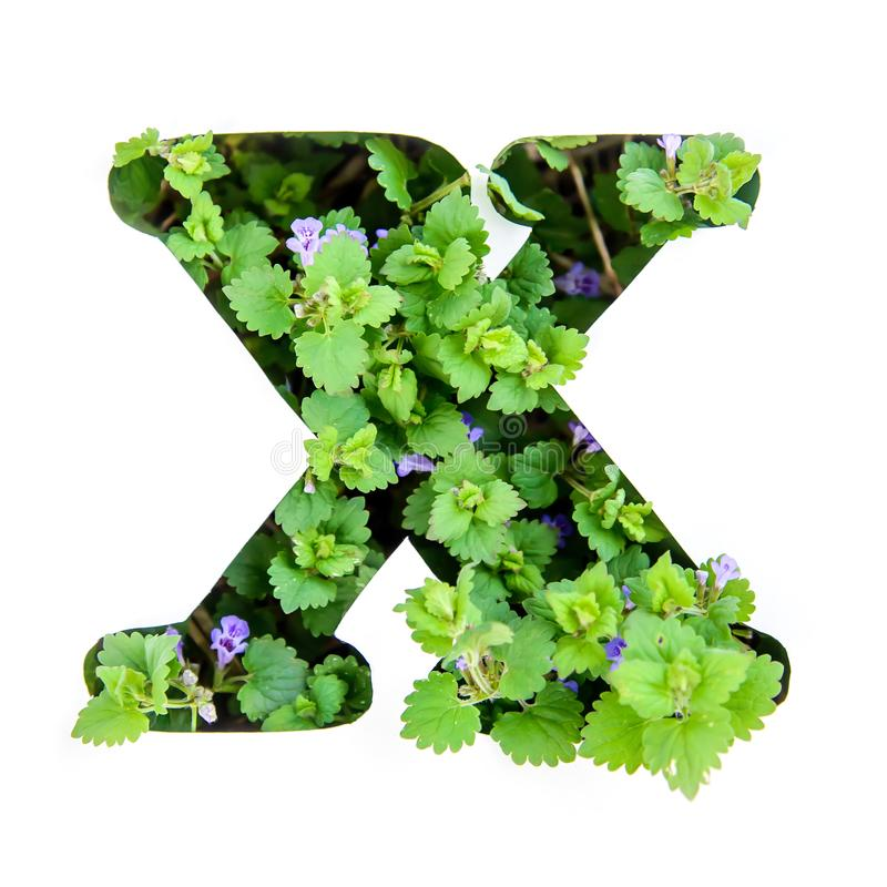 The letter X of the English alphabet from the leaves of green plants. The letter X of the English alphabet of leaves of green plants in a white paper stencil royalty free stock photos