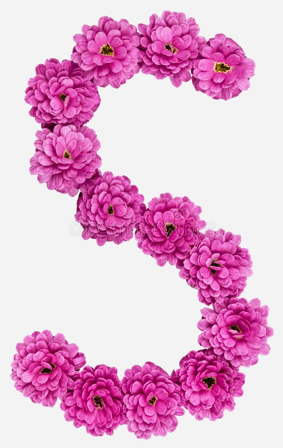 Letter S, alphabet from flowers of chrysanthemum, isolated on white background royalty free stock photography