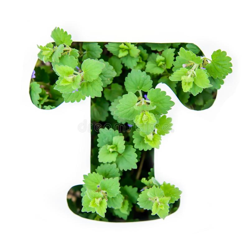The letter T of the English alphabet from the leaves of green plants. The letter T of the English alphabet of leaves of green plants in a white paper stencil royalty free stock images