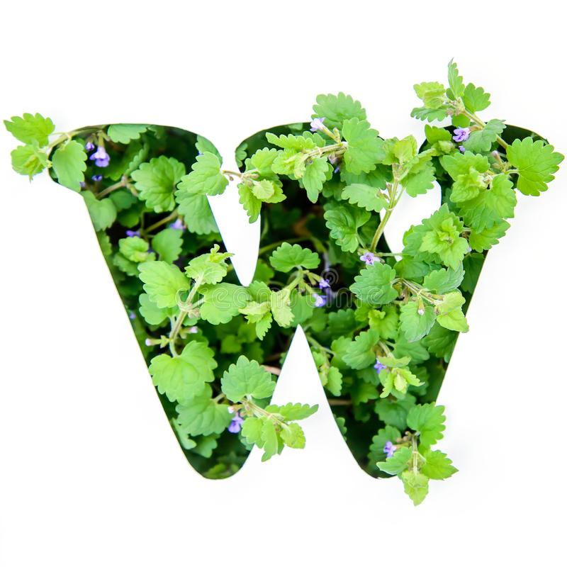 The letter W of the English alphabet from the leaves of green plants. The letter W of the English alphabet of leaves of green plants in a white paper stencil royalty free stock photography