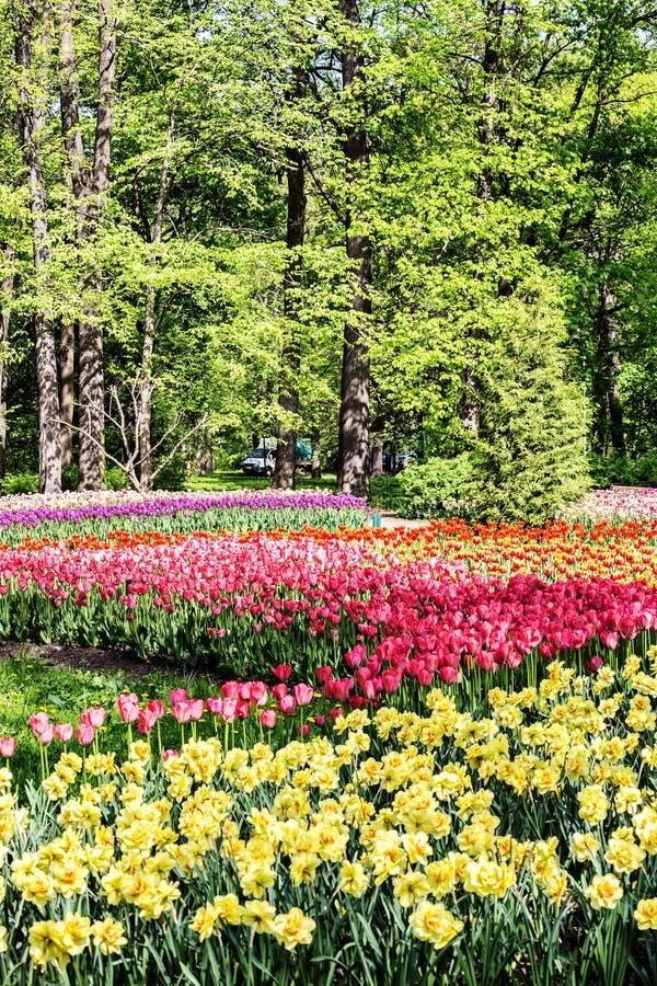 Letti con i tulipani ed i narcisi fotografie stock libere da diritti