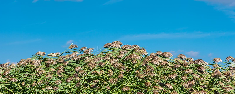 Letti di Eed nel vento e nel cielo blu fotografia stock