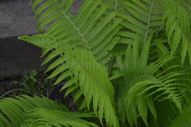 Letti di fiori decorati, bellissimi riccioli Fern Polipodiophyta Fern Leaf - Frond fotografie stock libere da diritti