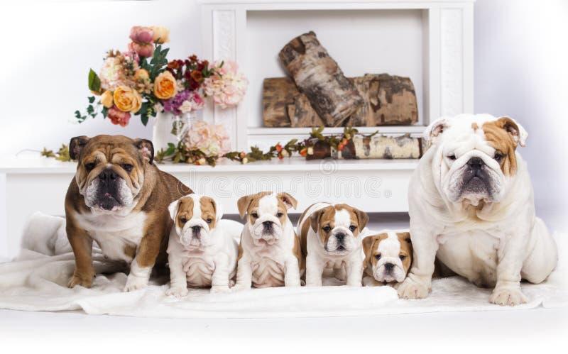 Lettiera inglese del bulldog dei cuccioli, della mamma e del papà immagine stock libera da diritti