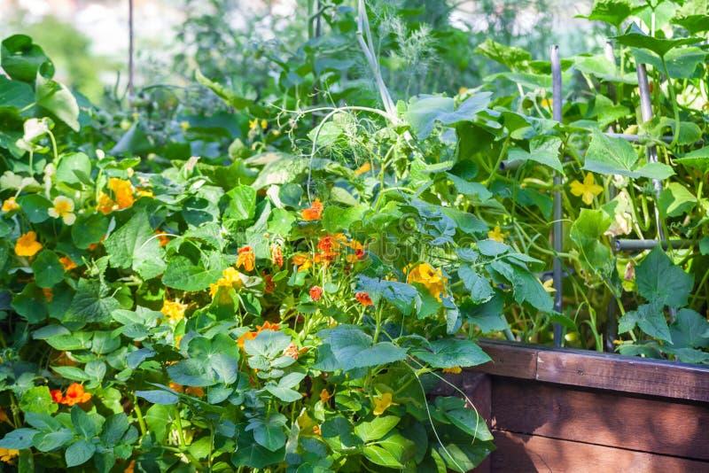Letto alzato con i nasturzi, aneto, piante del cetriolo immagini stock