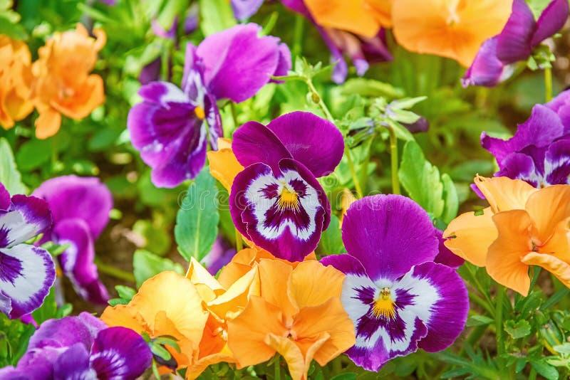Letto di fiore con le viole del pensiero fotografie stock libere da diritti