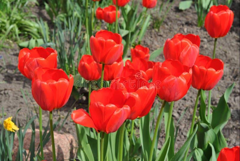 Letto di fiore dei tulipani nella primavera Tulipani variopinti dell'Olanda nel letto di fiore del giardino di primavera fotografia stock