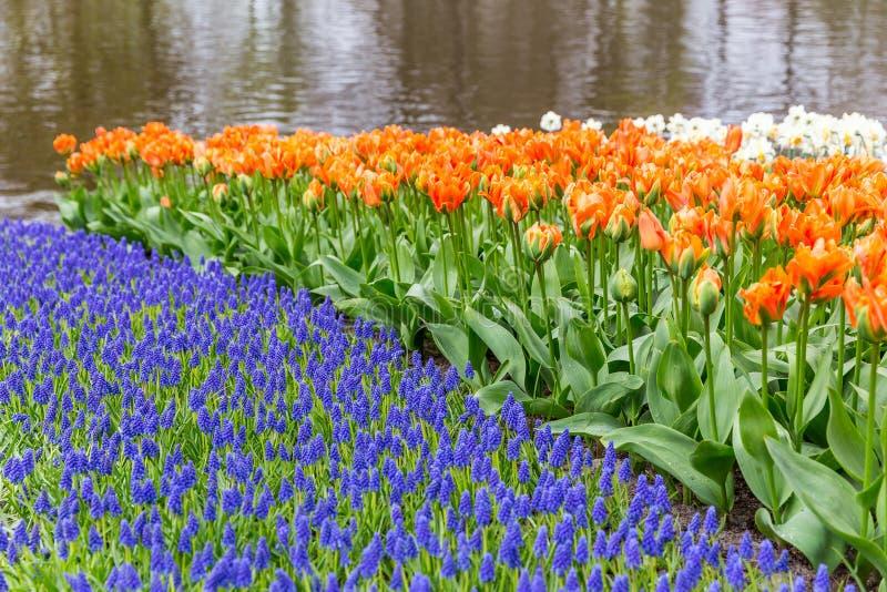 Letto di fiore del muscari e dei tulipani nel parco a Keukenhof fotografia stock libera da diritti