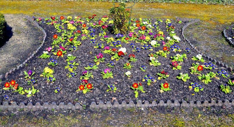 Letto di fiore misto di colore della primula immagine stock libera da diritti