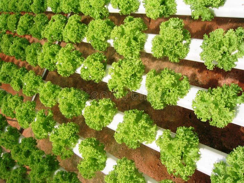 Download Lettuce stock photo. Image of agriculture, harvest, produce - 12652062