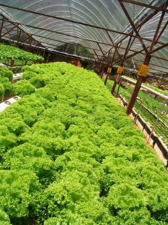 Download Lettuce stock image. Image of farmland, healthy, outdoors - 12652501