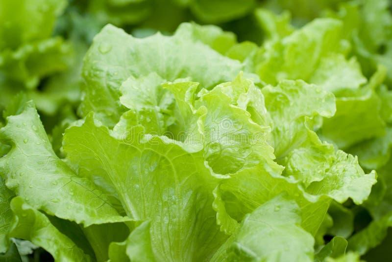 Download Lettuce stock image. Image of diet, fiber, color, green - 13181023