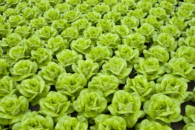 Download Lettuce Royalty Free Stock Photography - Image: 1810797
