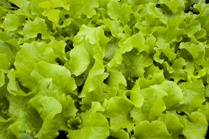 Download Lettuce stock photo. Image of pattern, abstract, growth - 19392522