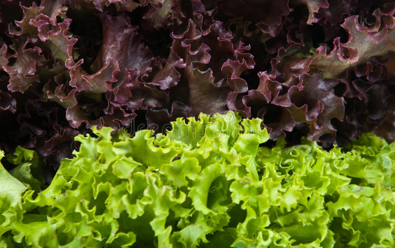 Lettuce. Close up of mixed lettuce salad stock photo