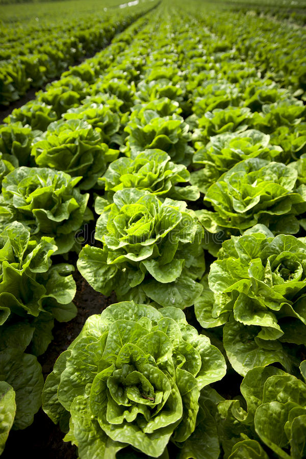 Lettuce. Growing in Lancashire,uk stock photography