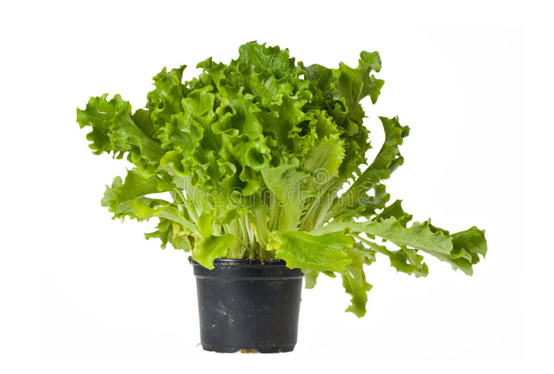 Download Lettuce stock image. Image of leaf, white, seedling, healthy - 8400981