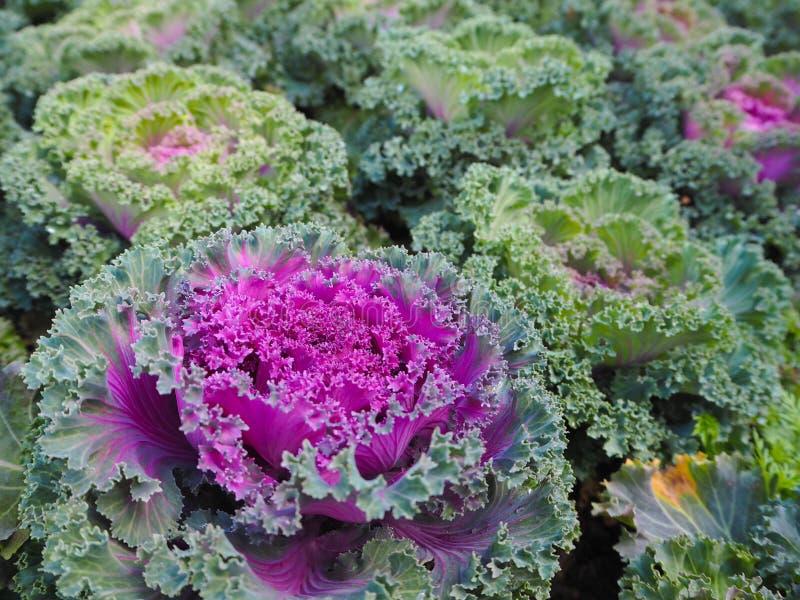 Lettuce royalty free stock photos