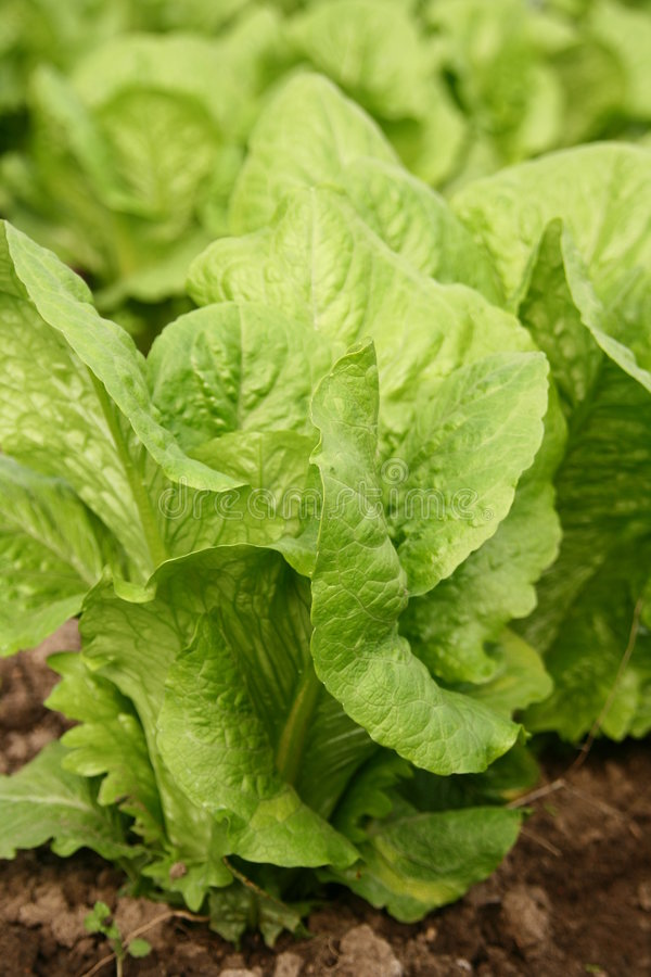 Lettuce bed in greenhouse. Close up lettuce bed in greenhouse royalty free stock image