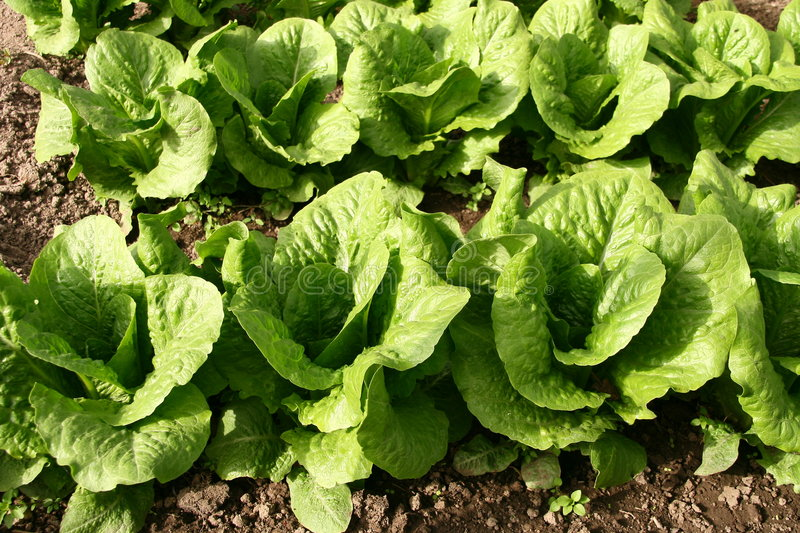 Lettuce bed in greenhouse. Close up Lettuce bed in greenhouse royalty free stock photography