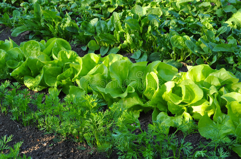 Lettuce cabbage royalty free stock image