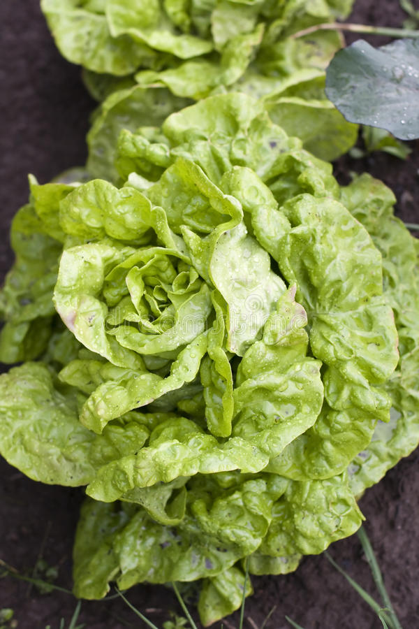 Download Lettuce Royalty Free Stock Photo - Image: 32074115