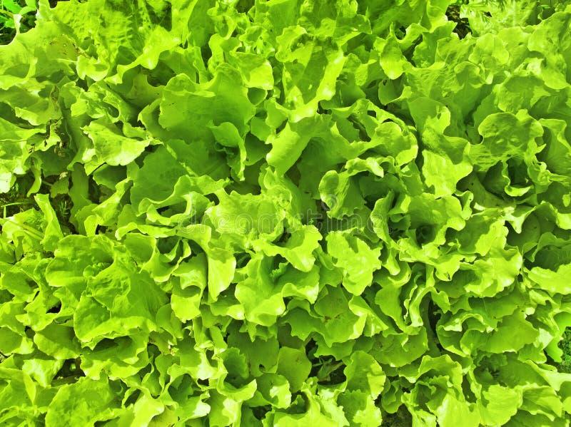 Lettuc royalty free stock photo