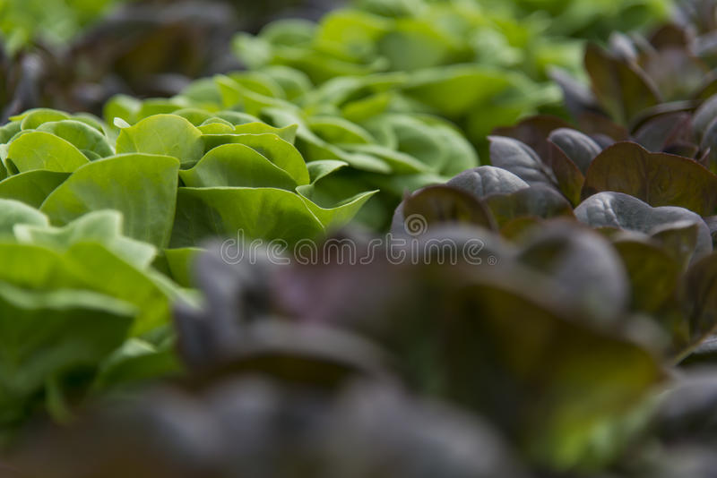 Lettuce crops royalty free stock image