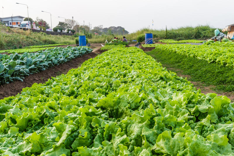 Lettuce. A cultivated plant of the daisy family, with edible leaves that are a usual ingredient of salads. Many varieties of lettuce have been developed with a royalty free stock photography