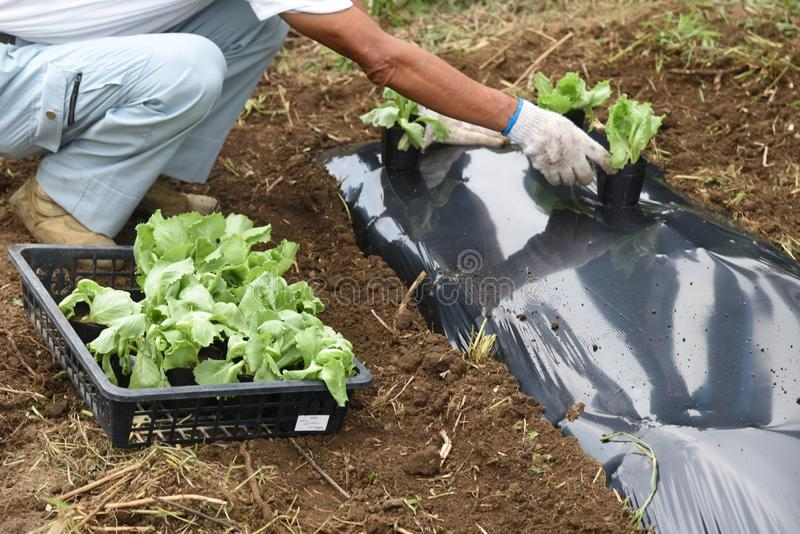 Lettuce cultivation / Kitchen garden. / Creating good soil is important. Plow well to make excellent soil royalty free stock photography