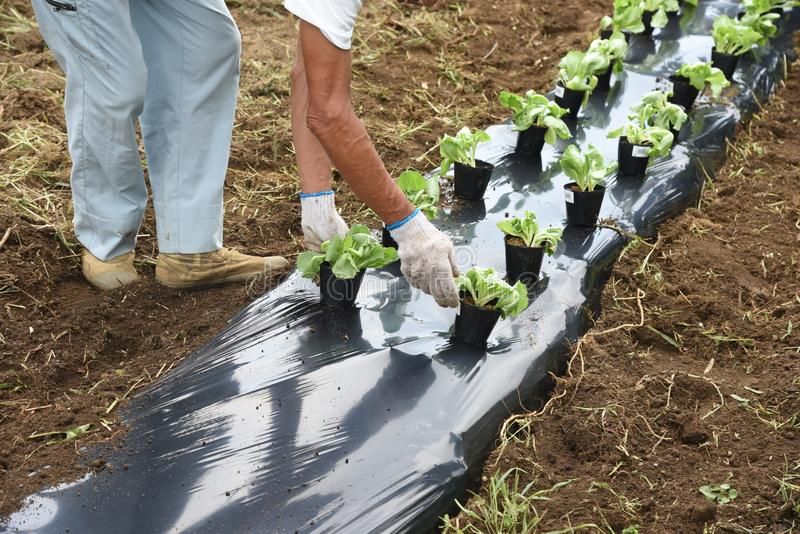 Lettuce cultivation / Kitchen garden. / Creating good soil is important. Plow well to make excellent soil stock image