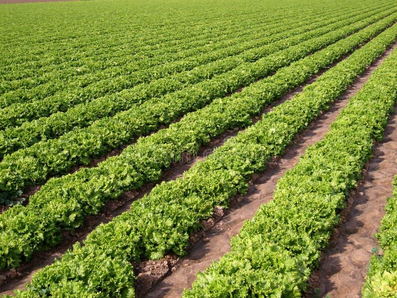 Lettuce Field 1 royalty free stock photo