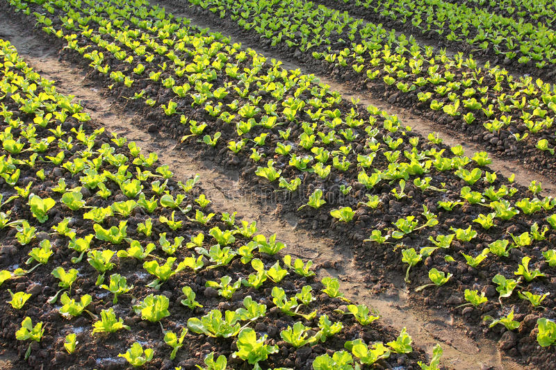Download Lettuce Field Royalty Free Stock Photo - Image: 11931265